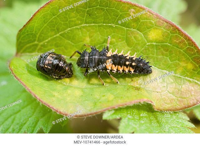 Harlequin Ladybird larva and pupa. (Harmonia axyridis)