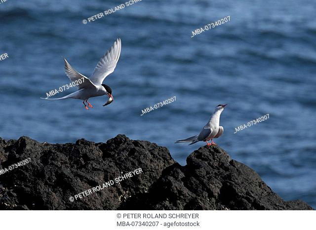 Arctic terns, Sterna paradisaea, one bird bringing a fish, the other refusing to accept