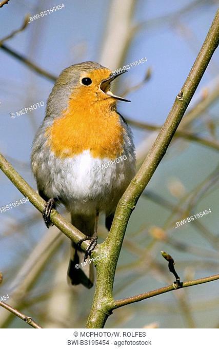 European robin (Erithacus rubecula), singing, Germany, Lower Saxony