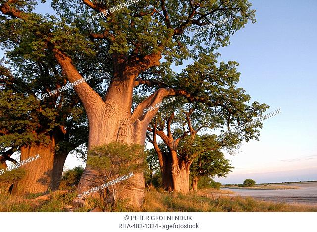 Baines baobabs, Nxai Pan, Botswana, Africa