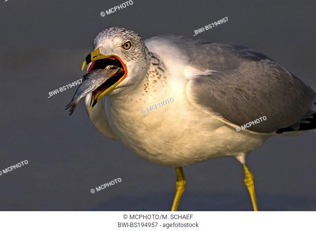 ring-billed gull (Larus delawarensis), eats a fish, USA, Florida