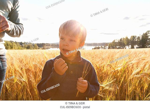 Boy in wheat field examining wheat, Lohja, Finland