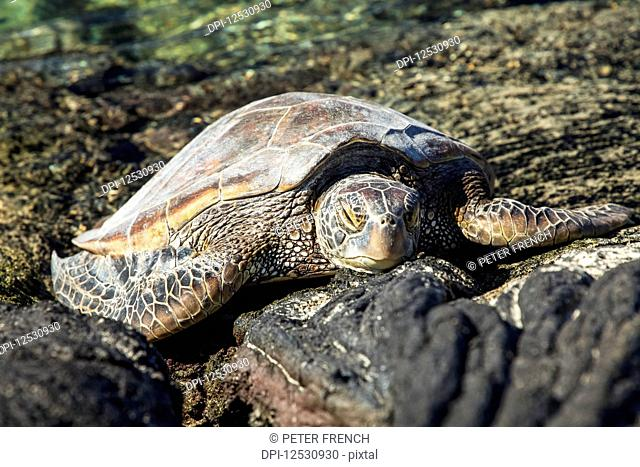 Hawaiian Green Sea Turtle (Chelonia mydas) resting on lava rocks at Kiholu Bay, South Kohala Coast; Island of Hawaii, Hawaii, United States of America