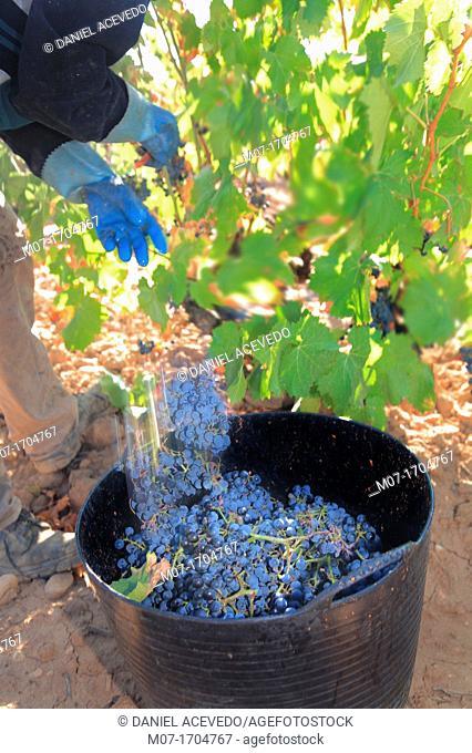 Garnacha red grape, Lower Rioja region, La Rioja Spain, Aldeanueva