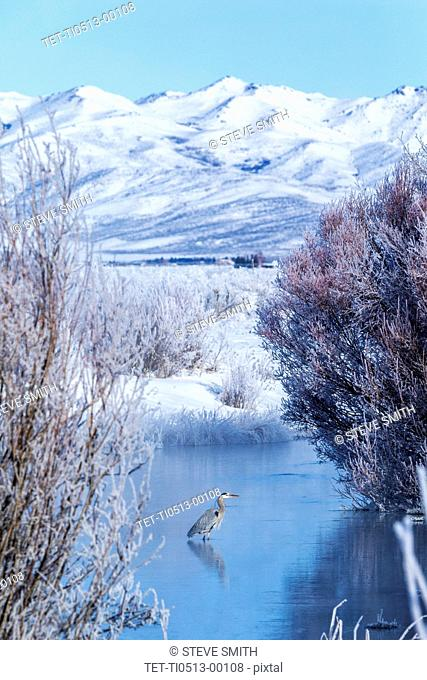 Heron during winter in Bellevue, Idaho