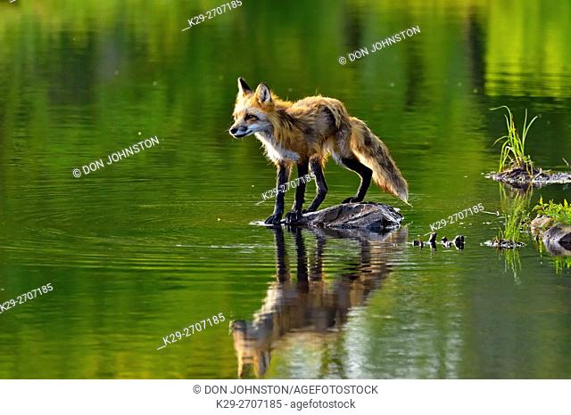 Red fox (Vulpes vulpes) captive, Minnesota Wildlife Connection, Sandstone, Minnesota, USA