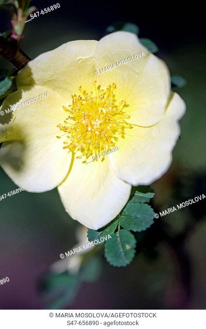Specie Light Yellow Rose Flower. Rosa 'Canary Bird'