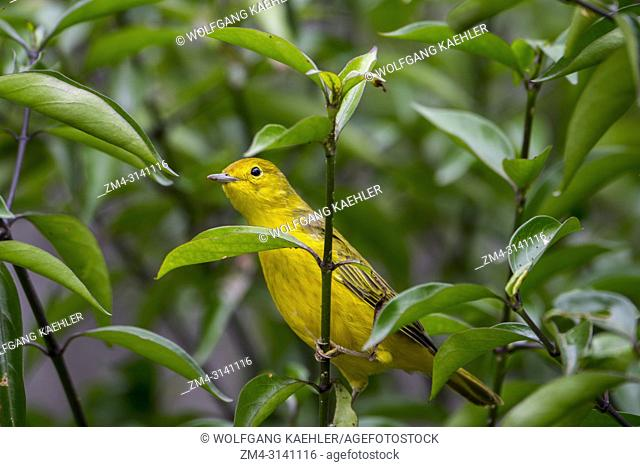 A Yellow warbler (Dendroica petechia) in the highlands of San Cristobal Island (Isla San Cristobal) or Chatham Island in the Galapagos Islands, Ecuador