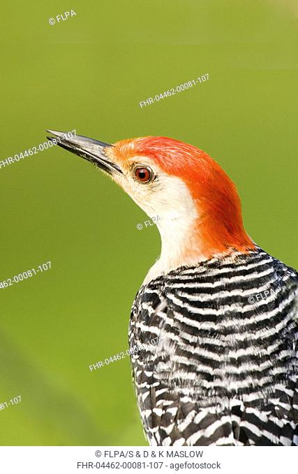 Red-bellied Woodpecker Melanerpes carolinus adult male, close-up of head, U S A