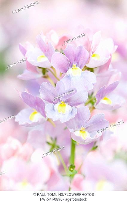 Nemesia, Nemesia 'Amelie', close up of the purple flowers