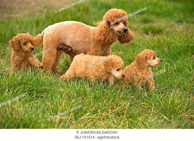 miniature poodle dog and three puppies on meadow restrictions: animal guidebooks, calendars