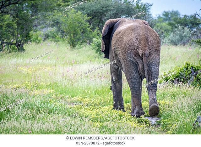 Back view of an elephant walking in the grasslands of Etosha National Park, located in Namibia, Africa