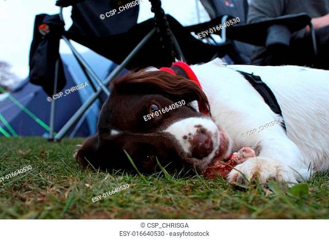 working type english springer spaniel pet gundog eating raw food