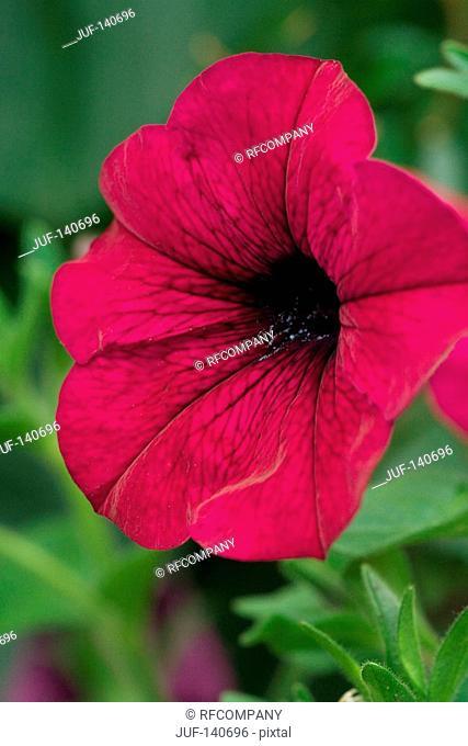 petunia - blossom
