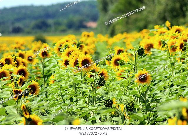 Field of sunflowers. Composition of nature. Agricultural field