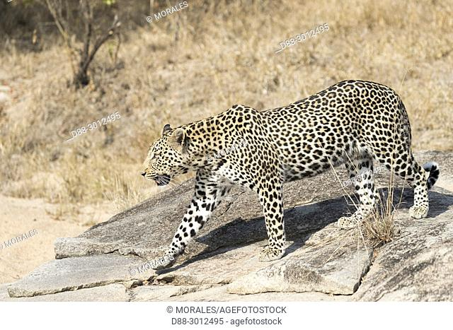 Africa, South African Republic, Mala Mala game reserve, savannah, African Leopard (Panthera pardus pardus), walking on the ground