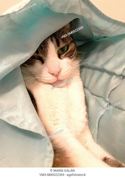 Tabby and white cat hidden under the duvet