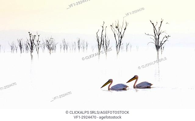 Pelicans in Lake Nakuru, Rift Valley, Kenya