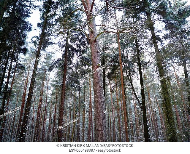 Pine forrest with snow on branches. Scandinavia