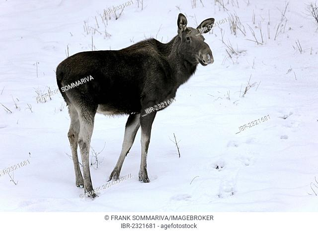 Moose or Eurasian Elk (Alces alces), cow standing in the snow, captive, Thuringia, Germany, Europe, PublicGround