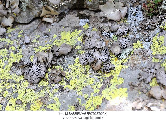 Rock tripe (Umbilicaria spadochroa) is an umbelate or lobate lichen that grow in siliceous rocks. Ascomycota. Umbilicariaceae