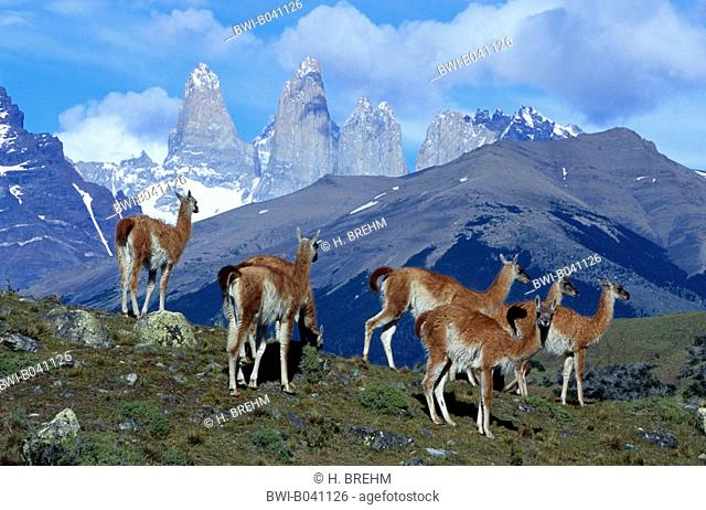 guanaco (Lama guanicoe), group in front of the Towers of Paine, Chile, Torres del Paine National Park