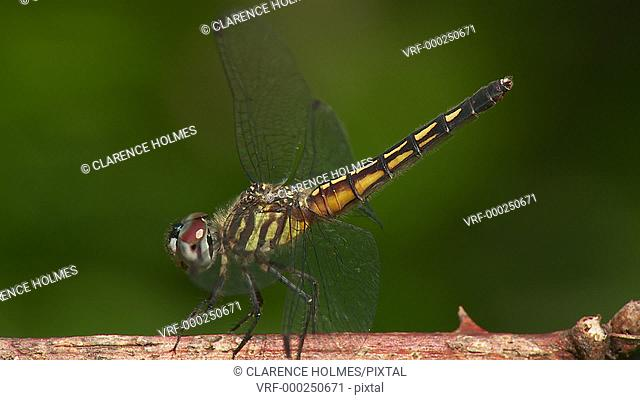 A female Blue Dasher (Pachydiplax longipennis) dragonfly regulates its body temperature by obelisking on a hot summer day