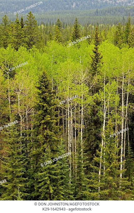 Poplars and pines in the Athabasca River Valley from the Marmot Basin Road, Jasper NP, Alberta, Canada