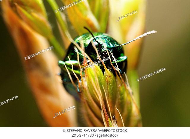 Green Dock Beetle (Gastrophysa viridula) - Italy