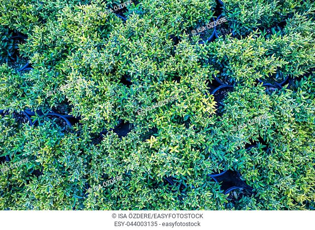 Top view of green and gold color Euonymus fortunei,yellow and green leaves of euonymus fortunei in plastic pots for sale