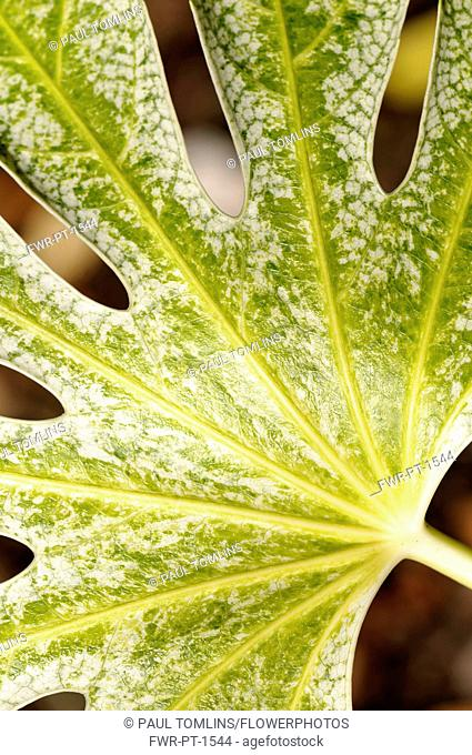 Fatsia, Fatsia japonica 'Spider's web', close up of variegated leaf showing pattern
