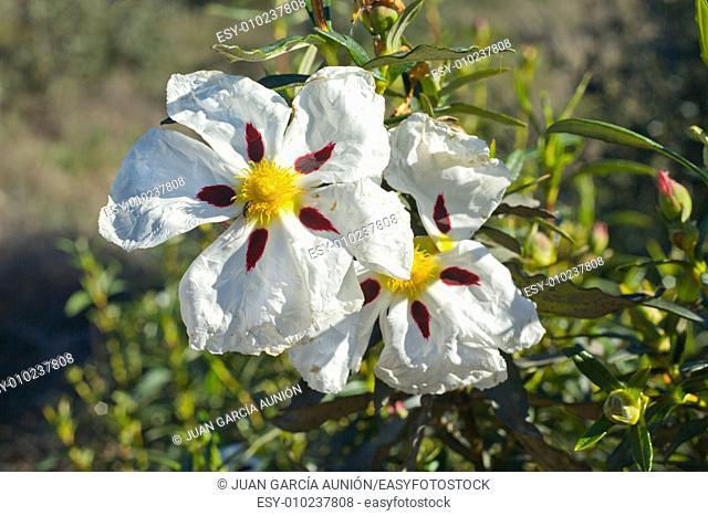 Gum rockrose or Cistus ladanifer, in a meadow of Extremadura, Spain