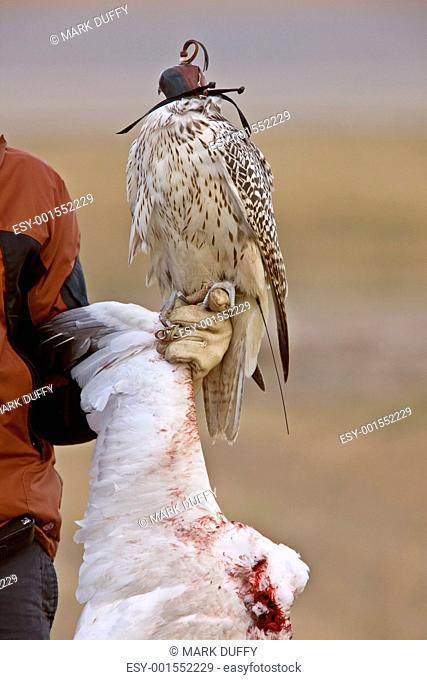 Gyrfalcon and kill snow goose