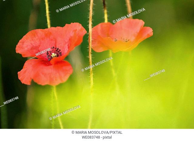 Red Shirley Poppy Duo. Papaver rhoeas
