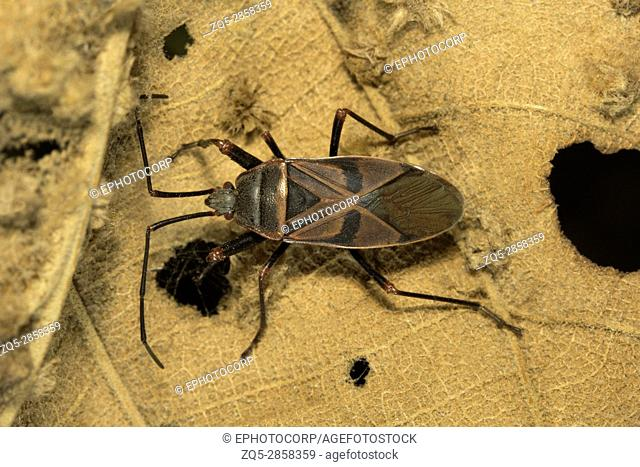 Assassin bugs, Aarey Milk Colony , INDIA. Assassin bugs are predatory insects of Family Reduviidae. These ambush predators are commonly found in gardens