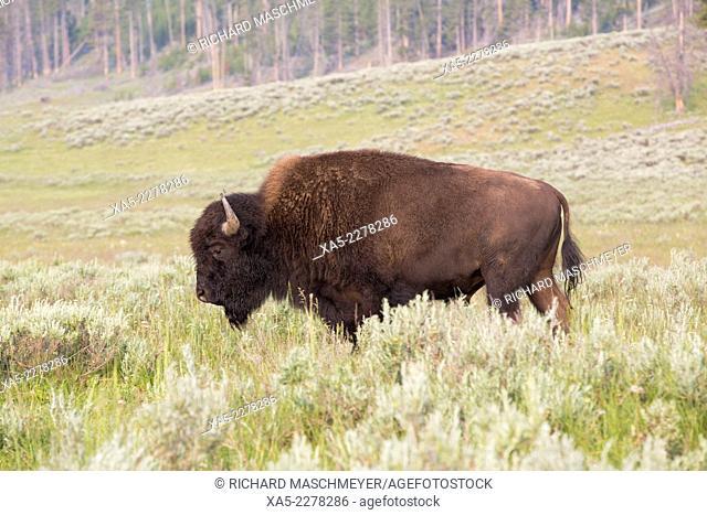 Bison (Bison bison), Hayden Valley, Yellowstone National Park, Wyoming, USA