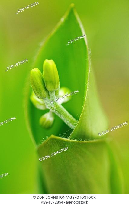 Blue bead lily Clintonia borealis flower buds and leaves, Greater Sudbury Lively, Ontario, Canada