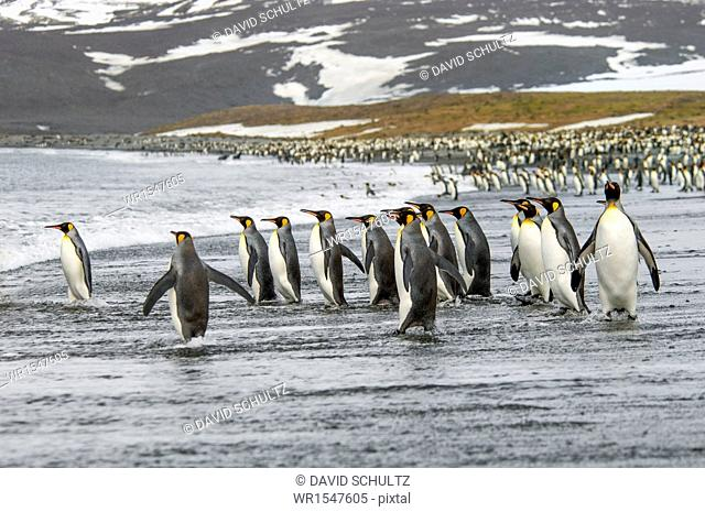 A group of king penguins, Aptenodytes patagonicus on South Georgia Island