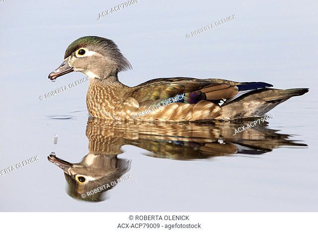 Wood duck (Aix sponsa), female, Burnaby Lake, British Columbia