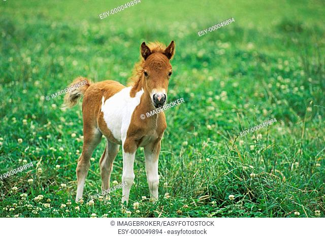 Shetland Pony, 10-days-old foal