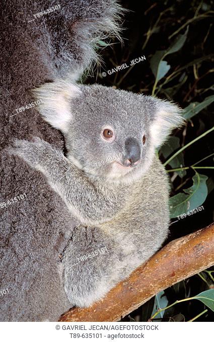 Mother and baby Koala (Phascolarctos cinereus) Australia, Kangaroo Island