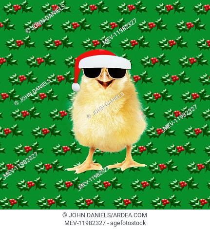 Chicken - Chick wearing sunglasses and Father Christmas / Santa hat - smiling - laughing - cool chick Digital manipulation