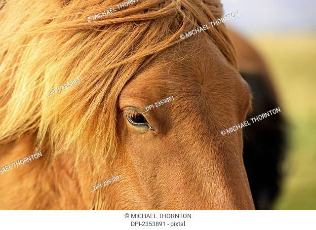 Icelandic Horse; Laugarvatn, Arnessysla, Iceland