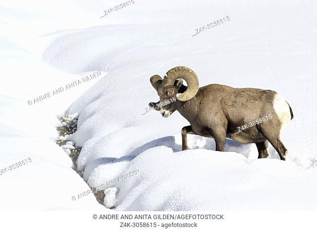 Bighorn Sheep (Ovis canadensis) male, ram, walking through deep snow, Yellowstone national park, Wyoming Montana, USA