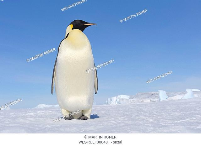 Antarctica, Antarctic Peninsula, Emperor penguin standing on snow hill island