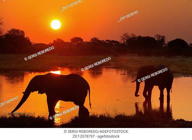 Botswana, Moremi Game Reserve, Okavango Delta, Khwai River Lodge, View of wading elephants