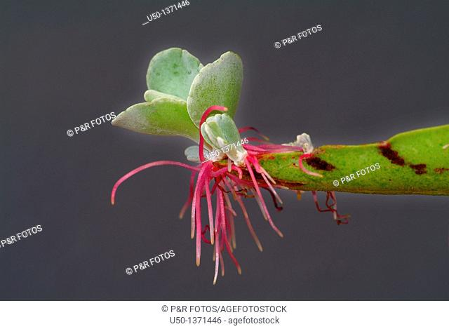 Succulent plant, asexual reproduction, vegetative propagation, Brazil, 2009
