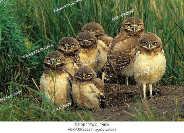 Burrowing owl Athene cunicularia chicks at nest burrow near Grasslands National Park, Saskatchewan, Canada