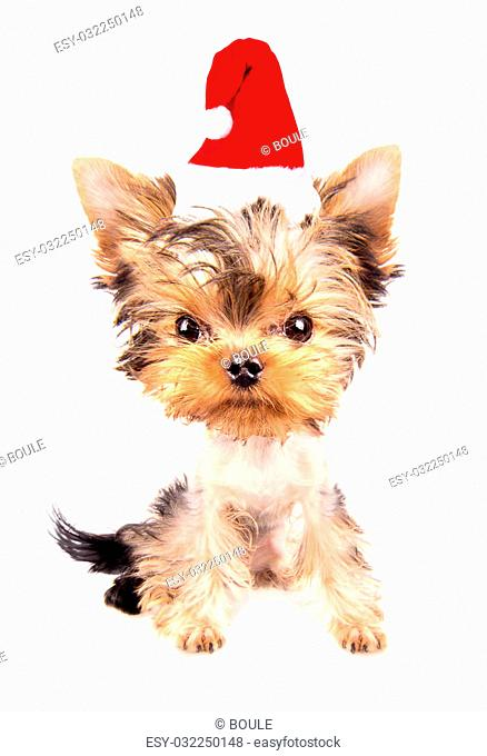 christmas dog as santa on a white background