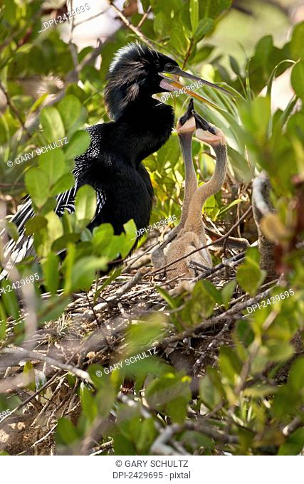 Anghinga (Anhinga anhinga) female with two chicks sitting in nest begging for food, Everglades National Park; Florida, United States of america